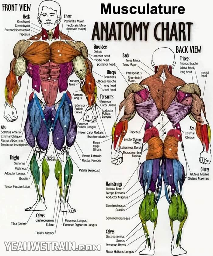 Musculature Anatomy Chart - Abs Sixpack Crunch Exercise Gym - Yeah ...