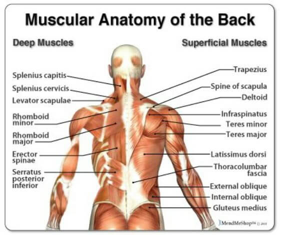 Muscular Anatomy Of The Back - Healthy Fitness Muscle Plan Train ...